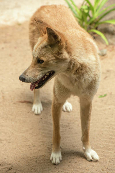 Photograph - Large Australian Dingo Outside by Rob D Imagery