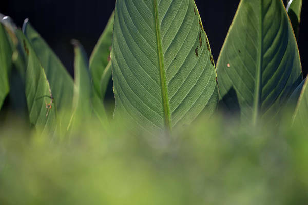Photograph - Large Dark Green Leaves by Uncle Arny