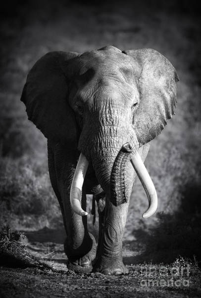 Large Elephant Bull Approaching Art Print by Johan Swanepoel