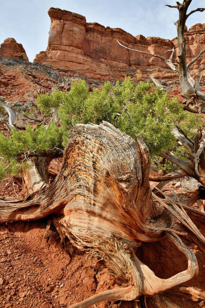 Photograph - Large Gnarly Juniper Tree In Valley Of The Gods by Ray Mathis