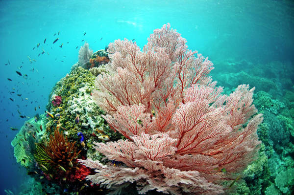 Underwater Scene Photograph - Large Gorgonian Fan Coral With Small by James Morgan