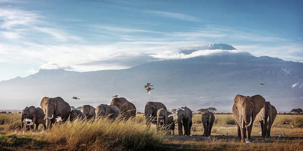 Wall Art - Photograph - Large Herd Of African Elephants In Front Of Kilimanjaro by Susan Schmitz