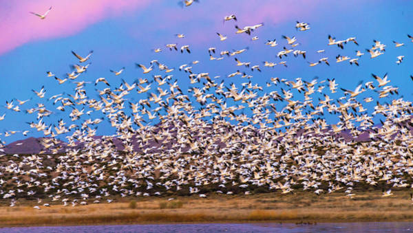 Wall Art - Photograph - Large Herd Of Snow Geese Soccoro, New by Panoramic Images