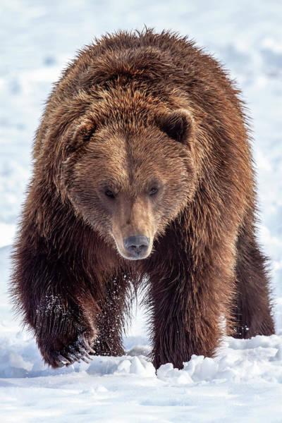Wall Art - Photograph - Large Male Brown Bear  Ursus Arctos by Doug Lindstrand