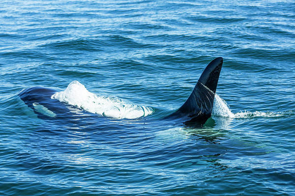 Dorsal Wall Art - Photograph - Large Male From Pod Of Resident Orca by Stuart Westmorland