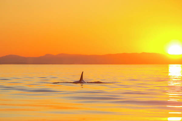 Dorsal Wall Art - Photograph - Large Male Orca At Sunset From Pod by Stuart Westmorland