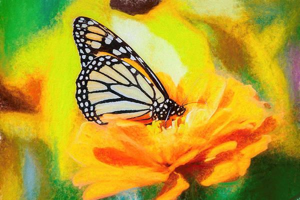 Photograph - Large Monarch Butterfly by Don Northup