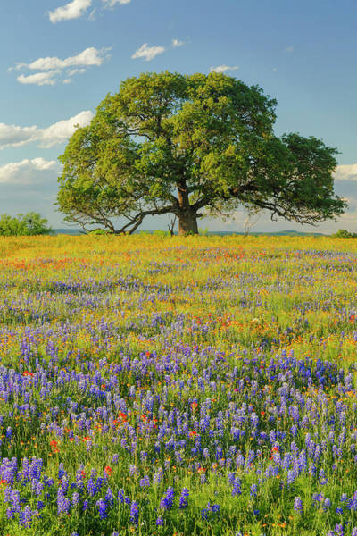 Wall Art - Photograph - Large Oak Tree In Expansive Meadow by Adam Jones