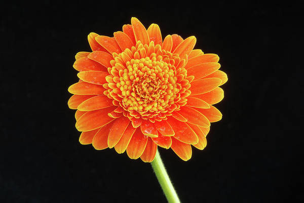 Photograph - Large Orange Gerber Daisy1 by Jennifer Wick