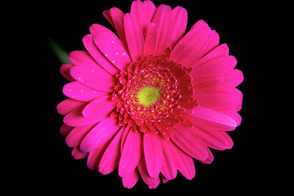 Photograph - Large Pink Gerber Daisy by Jennifer Wick