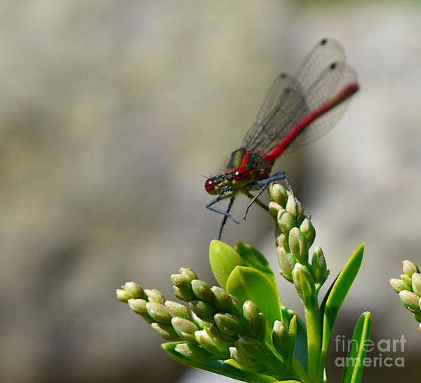Wall Art - Photograph - Large Red Damselfly by Yvonne Johnstone