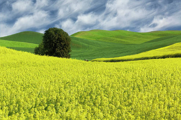 Wall Art - Photograph - Large Rolling Field Of Yellow Canola by Adam Jones
