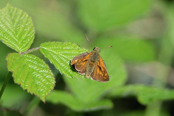 Photograph - Large Skipper Butterfly by Scott Lyons