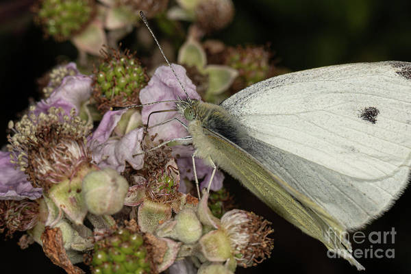 Photograph - large White by Brian Roscorla