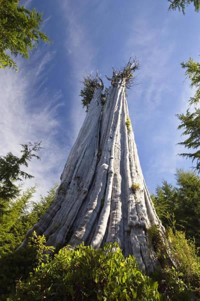 Cedar Tree Photograph - Largest Western Red Cedar Tree In The by Konrad Wothe / Look-foto