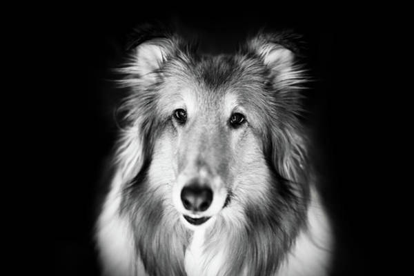 Collie Photograph - Lassie by Shane Holsclaw