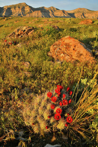 Photograph - Last Light On Cacti Bloom In Book Cliffs by Ray Mathis