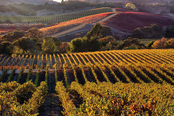 Wall Art - Photograph - Late Fall Afternoon Near Domaine Carneros In Napa Valley, Ca by Doug Holck