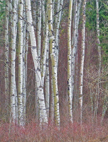 Photograph - Late Fall In Aspen  Country by Darrel Giesbrecht