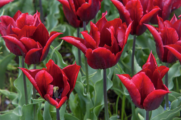 Wall Art - Photograph - Late-flowering Triumph Tulips Lasting Love by Jenny Rainbow