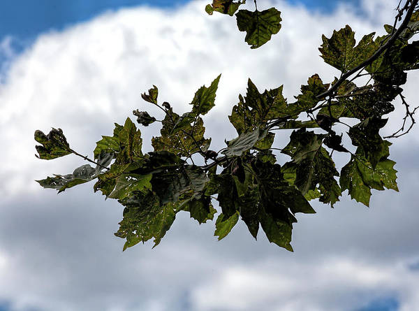 Photograph - Late Summer Leaves And Clouds by Robert Ullmann