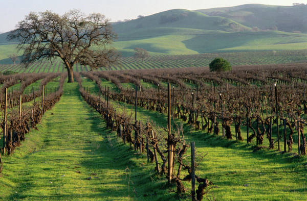 Winemaking Photograph - Late Winter Vineyard, Livermore Valley by Nicholas Pavloff