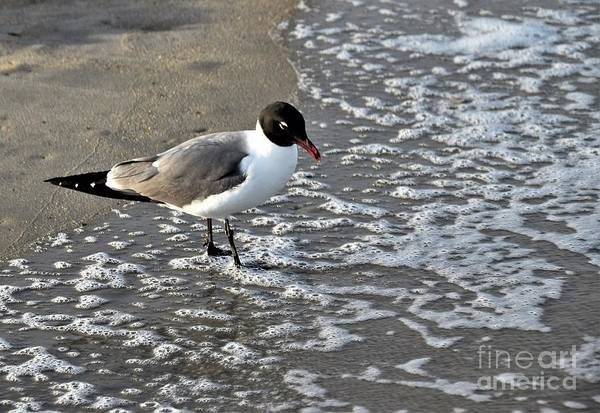 Wall Art - Photograph - Laughing Gull In The Ocean by Suzanne Wilkinson