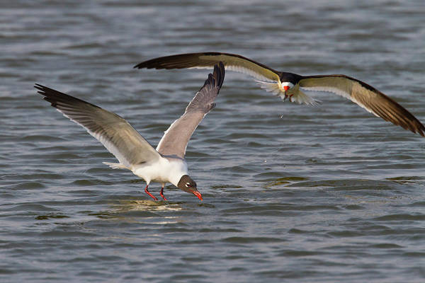 Laughing Photograph - Laughing Gull Larus Atricilla Diving by Danita Delimont