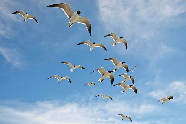 Birds Of Texas Photograph - Laughing Gulls Larus Atricilla In by Danita Delimont