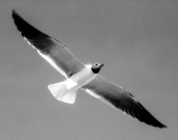 Photograph - Laughing Seagull by Greg Reed