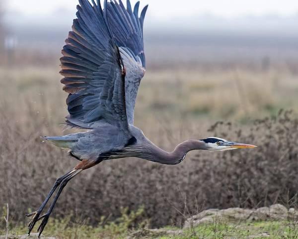 Photograph - Launching - Great Blue Heron by KJ Swan