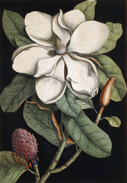 Blooming Tree Drawing - Laurel Tree by Mark Catesby