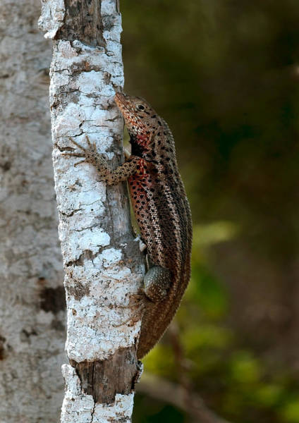 Wall Art - Photograph - Lava Lizard by Michael Lustbader