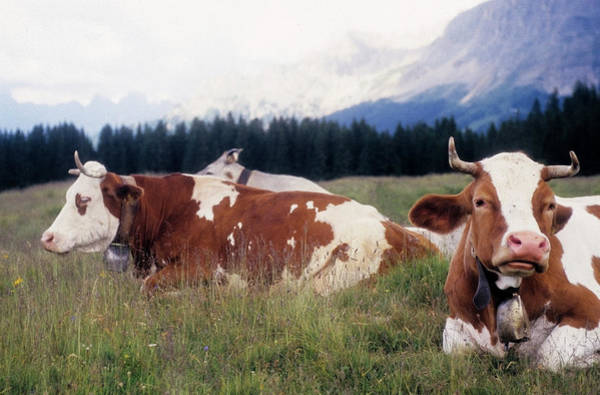 Cow Photograph - Lavazè Pass, Cows Lying by Stefano Salvetti