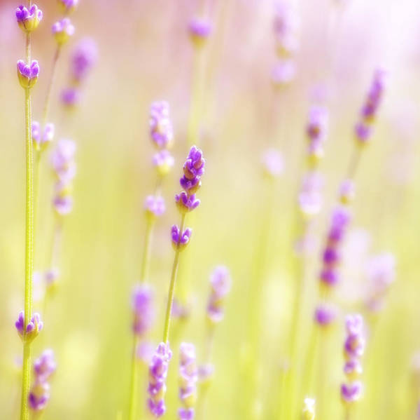 Ceca Wall Art - Photograph - Lavendel Field by Ceca Photography