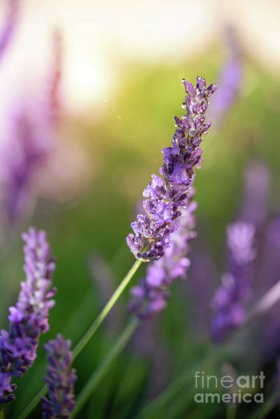 Wall Art - Photograph - Lavender At Sunset by Delphimages Photo Creations