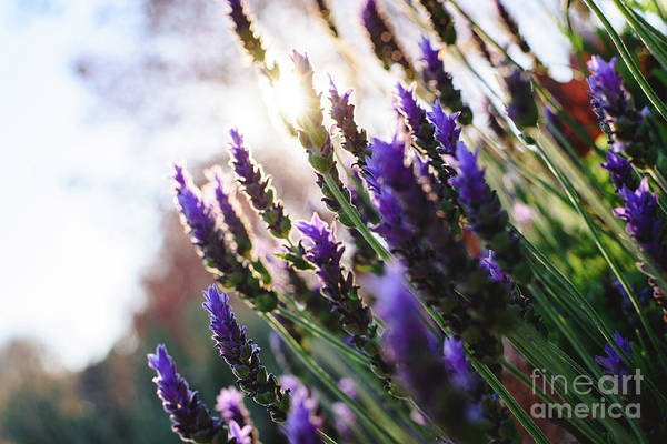 Photograph - Lavender, Beautiful And Romantic Aromatic Plant With Bright Colors. by Joaquin Corbalan