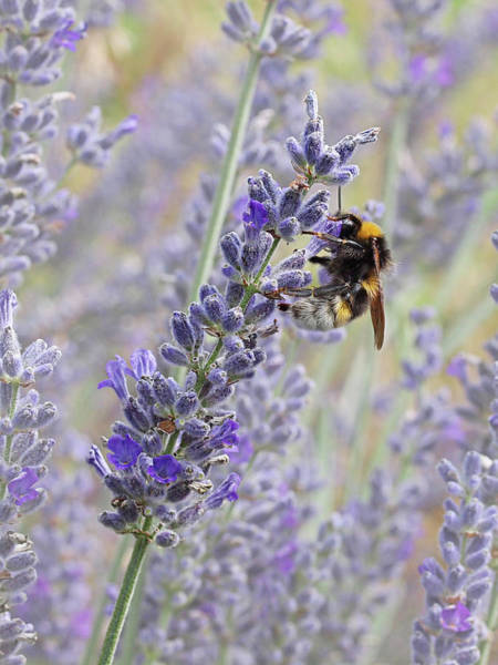Bee On Flower Wall Art - Photograph - Lavender Bee by Gill Billington