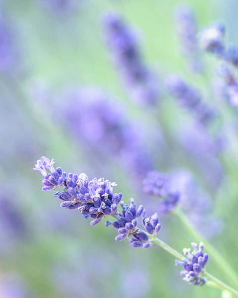 Photograph - Lavender Blooms by Jennifer Grossnickle