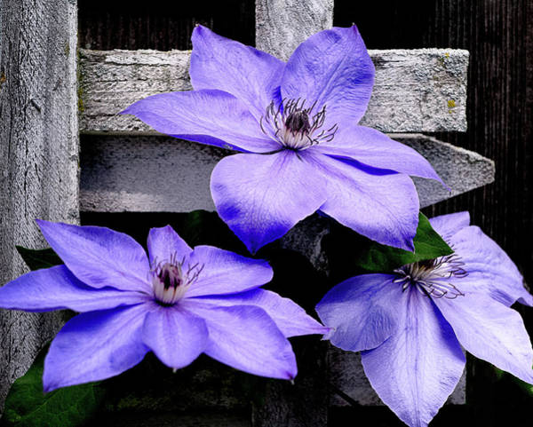 Photograph - Lavender Clematis On Vine by Julie Palencia