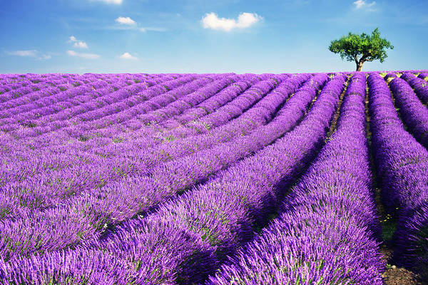 Wall Art - Photograph - Lavender Field And Tree In Summer by Matteo Colombo