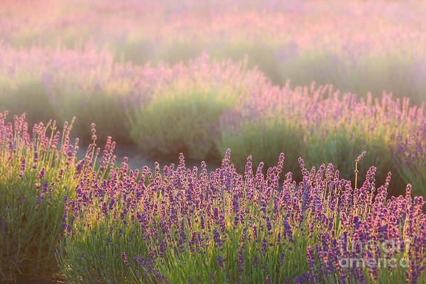 Purple Haze Photograph - Lavender Field In Fog by Olivier Le Queinec