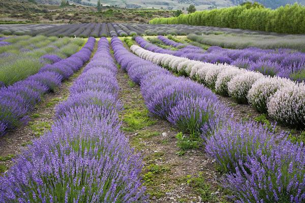 Okanagan Photograph - Lavender Field, Okanagan County by Radius Images