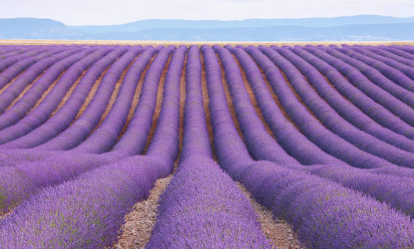 In Focus Wall Art - Photograph - Lavender Field, Provence, France by Werner Van Steen