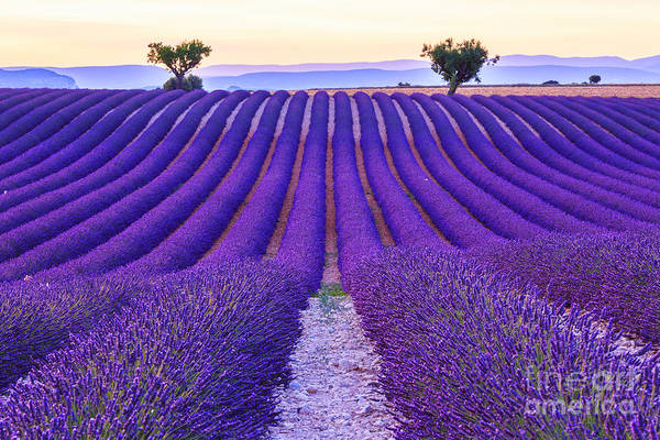 Herbal Wall Art - Photograph - Lavender Field Summer Sunset Landscape by Fesus Robert