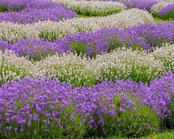 Photograph - Lavender Field by Susan Rydberg