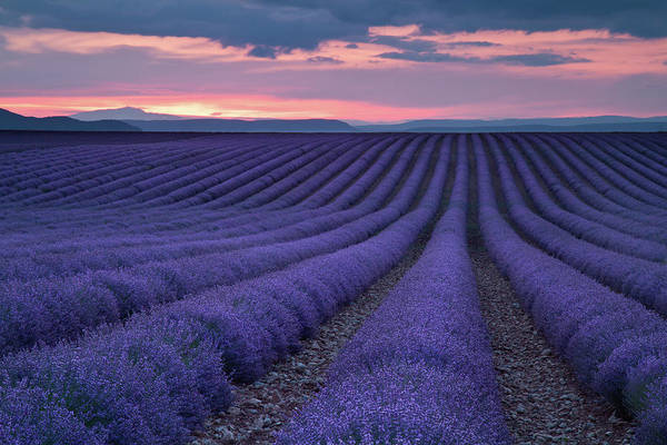 Photograph - Lavender Fields by Contact Me At Jgdamlow@gmail.com