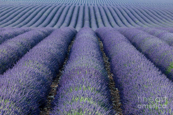 Photograph - Lavender Fields Forever by Brian Jannsen