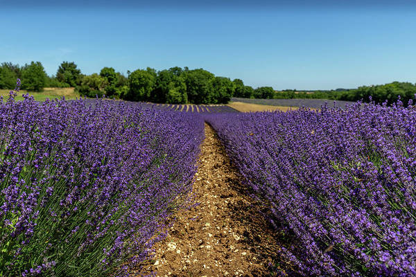 Photograph - Lavender Fields Of South West France by Georgia Fowler