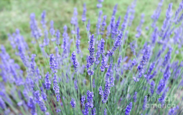 Photograph - Lavender For The Soul by Kerri Farley